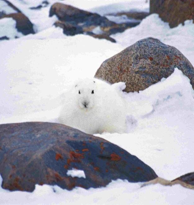 Arkticki zec